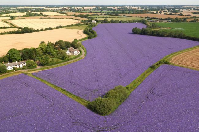 Fields of echium in full flower in the village of Feering in Essex. PRESS ASSOCIATION Photo. Picture date: Wednesday July 17, 2019. Fairking Ltd have been growing the brightly coloured crop for over 30 years and now farm over 6,000 acres of echium and bor