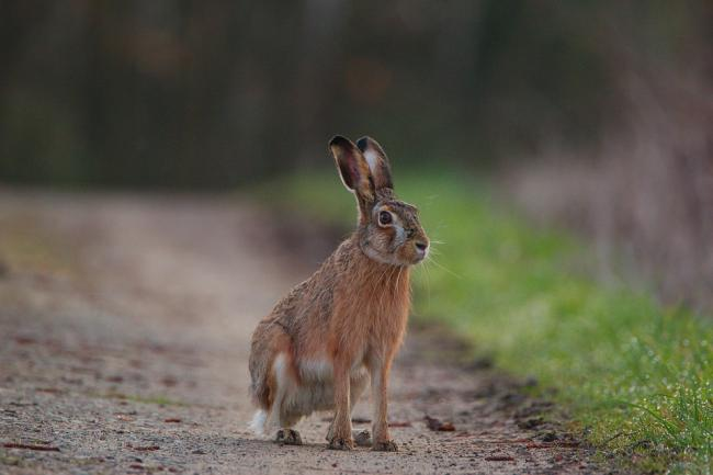 Hare coursing stock image