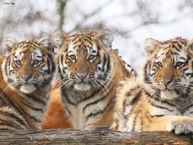 Tiger cubs at Colchester Zoo