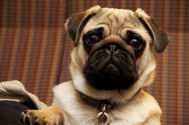 A stock picture of a pug