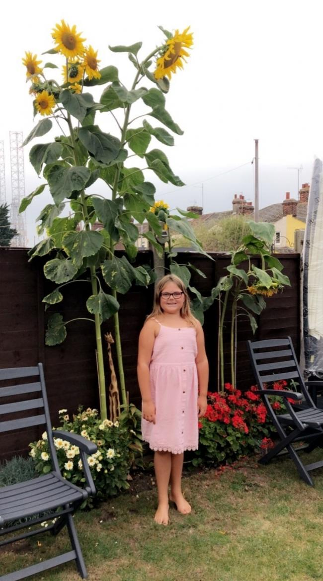 Incredible flower: Maisy Williams, Year 4, from Two Village Primary School, with her 380cm sunflower