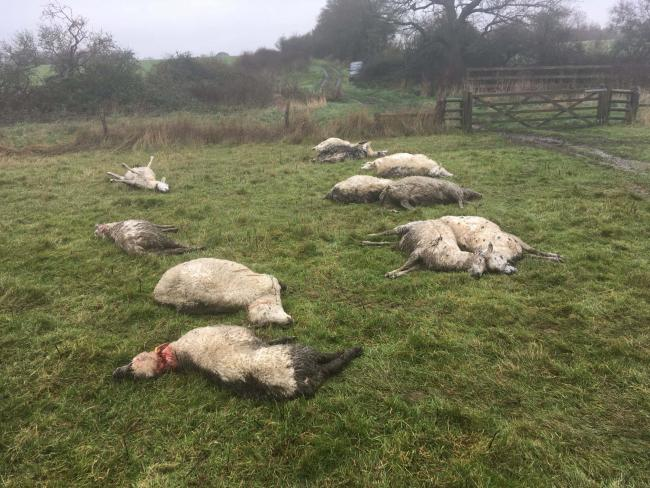 Attacked - 16 sheep were killed in East Bergholt