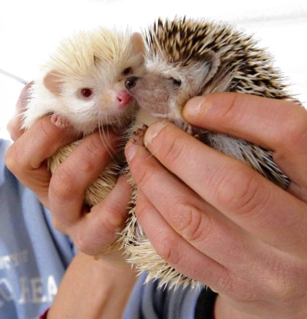 Rare albino hedgehog a hit at animal park