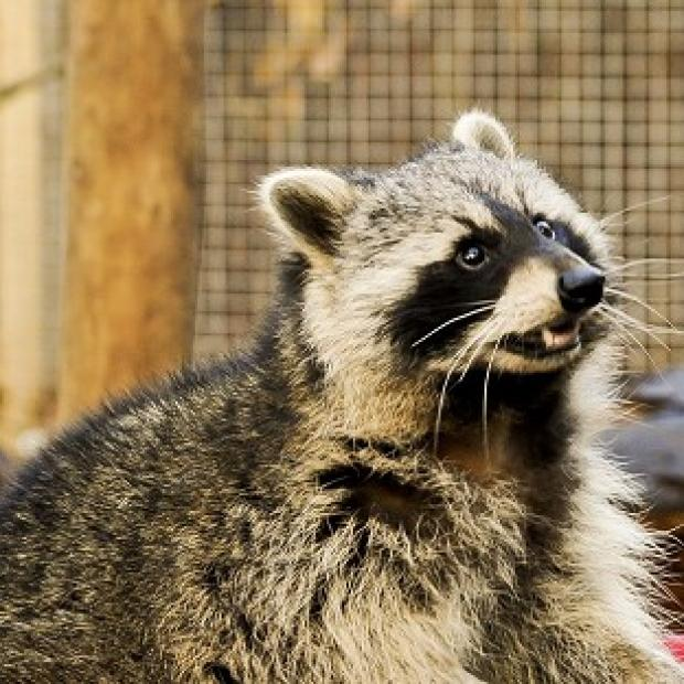 Harwich and Manningtree Standard: A raccoon has dug its way out of a Somerset zoo