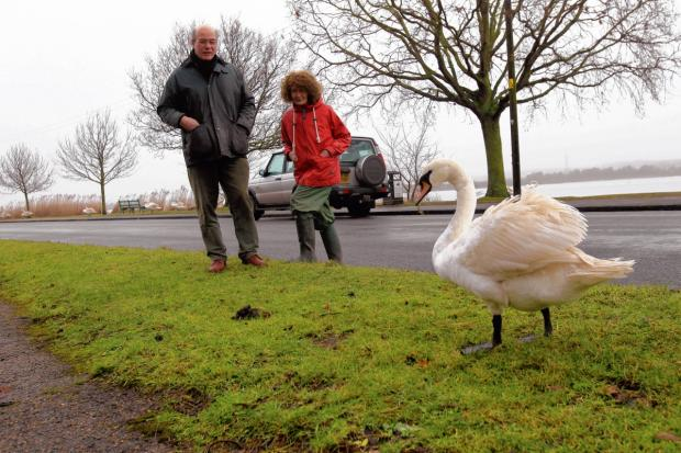 Council lobbying to help save swans