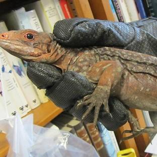 Harwich and Manningtree Standard: One of 13 endangered iguanas that have been seized by Border Force officers at Heathrow (Border Force/PA)