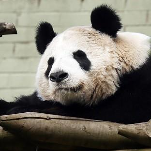 Harwich and Manningtree Standard: Experts at Edinburgh Zoo say female panda Tian Tian will soon be ready to mate
