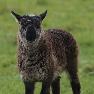 Harwich and Manningtree Standard: The as yet unnamed geep (a cross breed of a goat and a sheep) born on Paddy Murphy's farm in Ballymore Eustace, Co Kildare