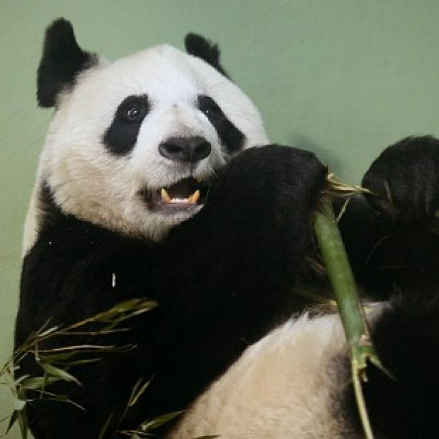 Harwich and Manningtree Standard: Tian Tian failed to mate naturally so has been artificially inseminated