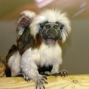 A mother and baby tamarin monkey - two of five stolen from Blackpool Zoo.