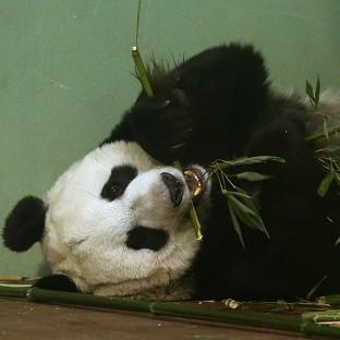 Experts at Edinburgh Zoo said Tian Tian should have gone into labour over the weekend but hormone tests suggested 'something might b
