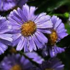 Harwich and Manningtree Standard: Aster plants for Gina...Pics:Nigel Holland (11158103)