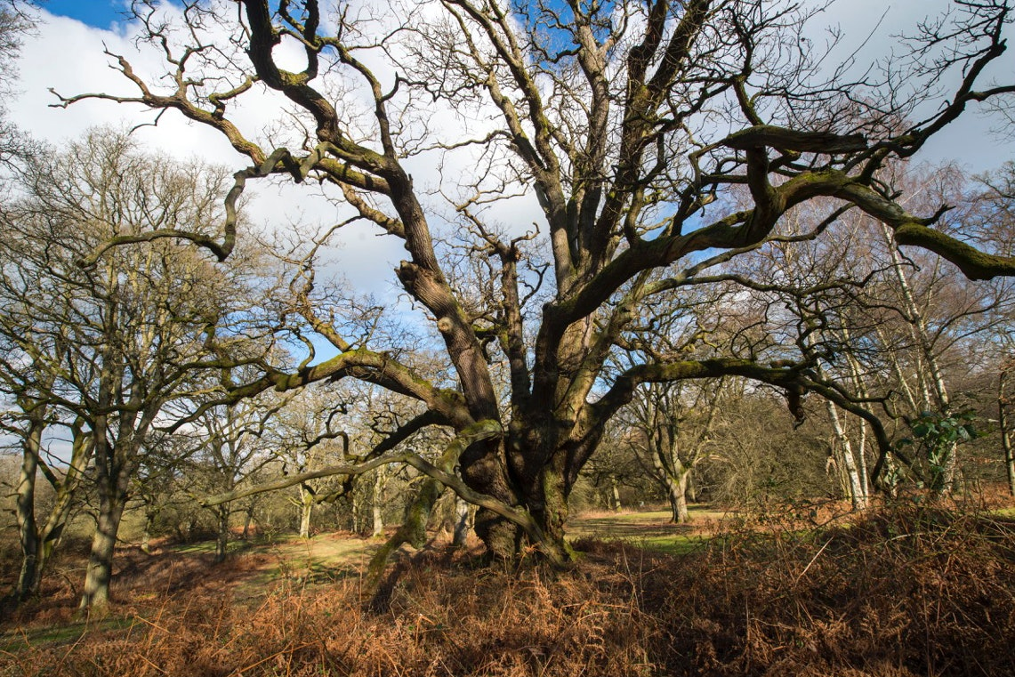 The largest collection of ancient oaks in Europe has been recorded at Blenheim Palace