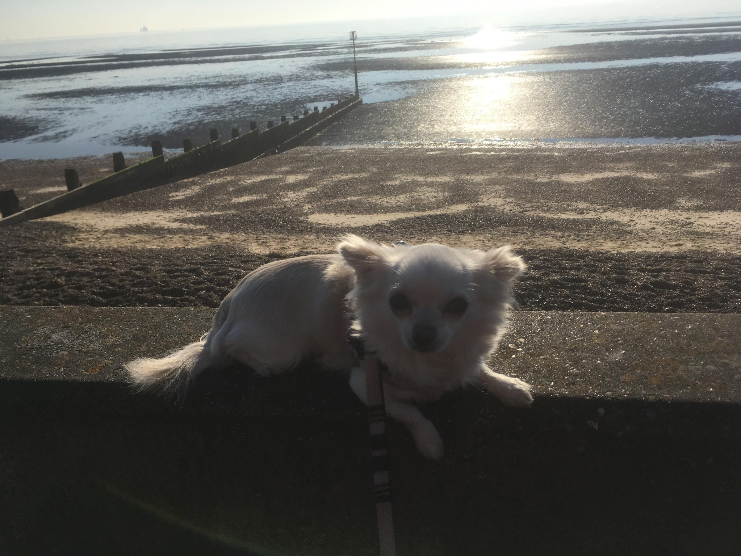 A lovely little dog enjoying the Dovercourt beach, taken by Dylan Calvert.